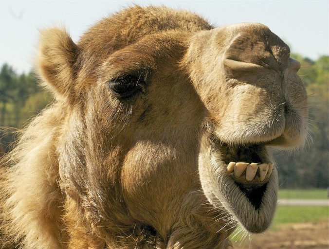 Close Up Camel