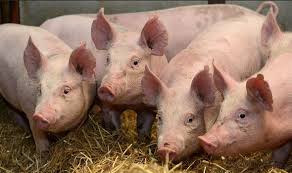 pig images